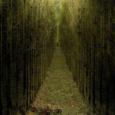 Eucalyptus trees at Khao Yai National Park in Thailand.