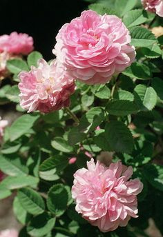 """'Rose de Meaux', also called """"Rosa pomponia"""", known since 1637. Cultivars of Rosa centifolia that are still grown."""