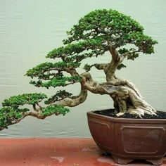 Bonsai Tree Care for Beginners Succulent Bonsai, Bonsai Plants, Bonsai Garden, Garden Trees, Garden Art, Succulent Wall, Succulents Garden, Cactus Plants, Bonsai Trees For Sale