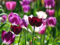 tulips flower nature