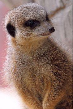Meerkat by Buggers1962 on Flickr.