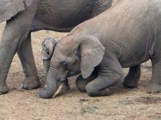 Big sister drops to her knees to show affection to newborn.A newborn elephant is getting some affection from her big sister as the mother is standing nearby. Location: Aberdare region of Kenya. Photo and caption by James Irwin - So sweet! Cute Funny Animals, Cute Baby Animals, Funny Cute, Animals And Pets, Beautiful Creatures, Animals Beautiful, Elephas Maximus, Elephant Love, Newborn Elephant