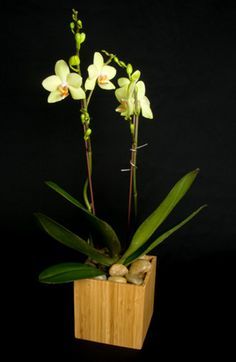 This is a yellow phalaenopsis orchid plant.  See our entire selection at www.starflor.com.  To purchase any of our floral selections, as gifts or décor, please call us at 800.520.8999 or visit our e-commerce portal at www.Starbrightnyc.com. This composition of flowers is generally available for same day delivery in New York City (NYC). OP037