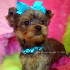 Teacup Yorkies For Sale | Dawn - Female AKC Teacup Golden Yorkie For Sale