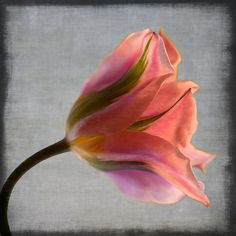 Watercolor tulip... modern style botanical by leapinggazelle, $20.00