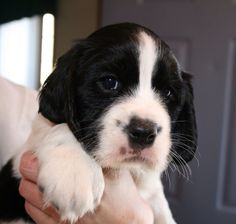 Cute Little Dogs, Cute Baby Dogs, Cute Baby Animals, Puppies And Kitties, Cute Puppies, Doggies, Springer Spaniel Puppies, English Springer Spaniel, Puppys