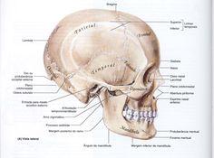 Cabeça Óssea - Neuroanatomia - Descrição e fotos