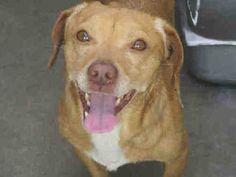 Dachshund dog for Adoption in Orange, CA. ADN-534152 on PuppyFinder.com Gender: Male. Age: Adult