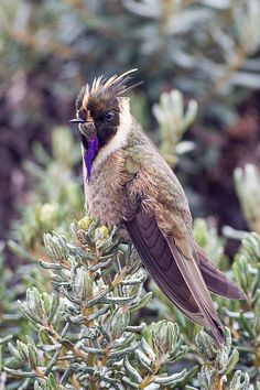 Green violet bearded helmetcrest from Colombia - by BobLewis (The Bearded Helmetcrest (Oxypogon guerinii) is a species of hummingbird in the family Trochilidae. It is found in Colombia and Venezuela. Its natural habitat is subtropical or tropical high-altitude grassland, known as páramo.)