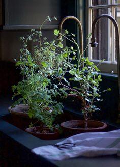DIY: Scented Sachets and Tea with Geranium (Pelargonium) Leaves