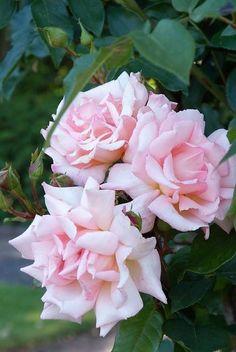 Roos, elegantie die in elke tuin past - GroenVandaag Different Types Of Flowers, Garden Painting, Geraniums, Painting Inspiration, Rose, Flower Art, Bloom, Summer 3, Watercolor