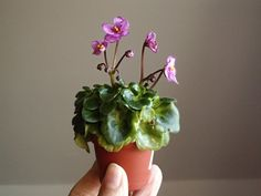 Silly Girl | (LLG) Semidouble medium pink pansy/red sparkle edge. Light green girl foliage. Miniature.  African Violet. Photo by Dana Giblova.
