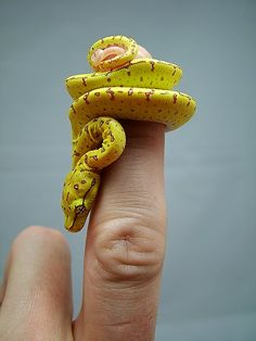 "this reminds me of the line from Dr. Seuss' Horton Hears a  Who ""A person's a person, no matter how small.""  Ok, this isn't a person, it's a tree python. But the essential Value and Preciousness, no matter how small, shines through"