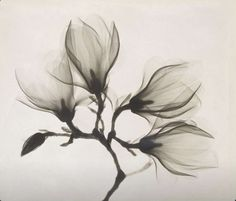 X ray of a magnolia 1910