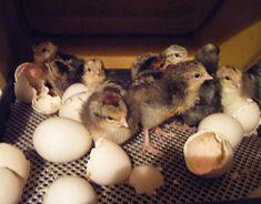 Chicks in a hatcher