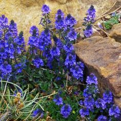 Veronica Blue Yonder PPAF (Blue Yonder Creeping Speedwell) is a new hybrid speedwell with spikes of deep blue flowers.