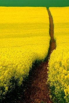 A beautiful trail through a beautiful field of flowers