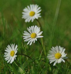 Daisy (Bellis): Innocence.