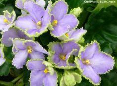 "EverGrace (Optimara, 6"" large space violet) http://myviolet.com/varieties/73"