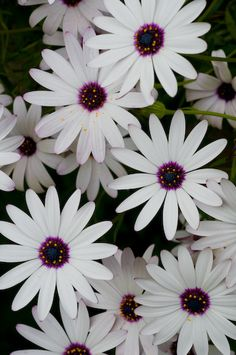 African Daisy... Daisies are my favorite flower. They make me smile. :-D