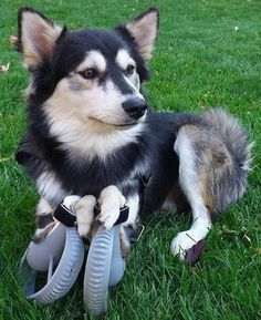 3D Printed Prosthetic Legs Give Derby the Dog Full Mobility & New Lease on Life http://3dprint.com/31337/3d-printed-prosthetic-legs-dog/
