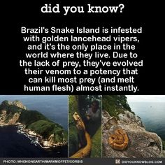 The Brazilian government forbids you from landing on Snake Island because there's about golden lanceheads per square meter. But people do it anyway to attempt catching them and selling them on the market. Welcome to my country. Welcome to Brazil. Wow Facts, Wtf Fun Facts, Random Facts, Random Stuff, Funny Facts, Funny Memes, Did You Know Facts, Things To Know, Scary Things