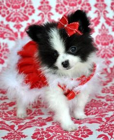 ^^Find out about teacup pug puppies for sale. Click the link for more Viewing the website is worth your time. Pug Puppies For Sale, Aussie Puppies, I Love Dogs, Cute Dogs, Cute Puppies Golden Retriever, Teacup Puppies, Yorkie Puppies, Teacup Yorkie, Pomeranian Puppy