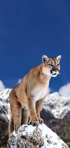 💗What is puma💗 Pumas are solitary cats and have the largest ranges of all wild terrestrial mammals in the Western Hemisphere. Their range extends from Yukon, Canada to the Southern Andes in South America. are mammals Nature Animals, Animals And Pets, Cute Animals, Majestic Animals, Animals Beautiful, Pumas Animal, Big Cat Species, North American Animals, Zoo Photos