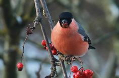 Male bullfinch eating rowan berry | This was the first bully… | Flickr