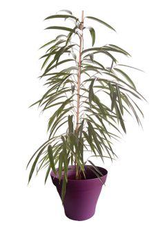 Ficus alii avec cache pot violet