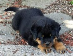 Create Awesome Engaging Articles With Puppies Rottweiler Puppies For Sale Rottweiler Puppies