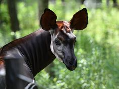 "The Okapi (Okapia johnstoni) at Yokohama Zoological Garden ""ZOORASIA"" in Japan #okapi #zoo #ZOORASIA Pi Art, Zoological Garden, Okapi, Yokohama, Photo Art, Giraffe, Horses, Japan, Animals"