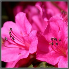 Azaleas...another beautiful flower that reminds me of spring/summer at MaMa's house!!!!  Great memories I wouldn't trade for the world.