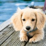 Dachsund-looks like a mini Golden...