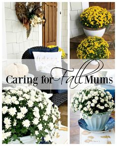 How to Care for Fall Mums. Easy tips for container mums that will help to insure lush, colorful plants the entire fall season.