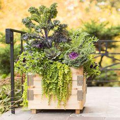 Wooden planter box with 'Redbor' kale, ornamental kale, dinosaur kale, creeping Jenny and pansy.
