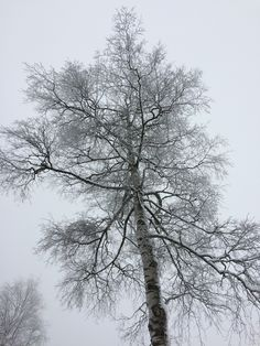 frozen birch