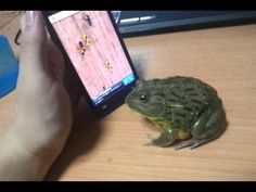 Pacman frog getting some touch-screen bugs