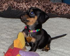 Chihuahua + wiener dog = chiweenie :)