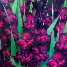 Pack of 5 Gladiolus 'Black Walnut' Perennial Flower Bulbs RARE Glad Black Flowers, Colorful Flowers, Beautiful Flowers, Flowers Perennials, Planting Flowers, August Birth Flower, Gladiolus Flower, Gladiolus Tattoo, Flower Sleeve