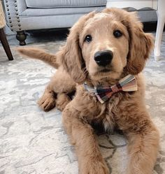 Bow Tie Collar, Collar And Leash, Cute Puppies, Dogs And Puppies, Really Cute Dogs, Pet Pictures, Retriever Puppies, Cute Animal Photos, Golden Retrievers
