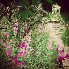 Dolly got the fireweed and the boardwalk. Arctic, Alaska, Plants, Planters, Plant, Planting