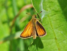 Thymelicus lineola (Hesperiidae) 06/13, Dunn Co.