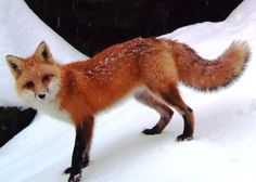 Adult red fox's have a year-round red coat that is typically much more striking during the winter months; a washed out orange to cherry red. The red portions cover the head, shoulders and back, and the rump may be either red or a light gray. Jet black marks the legs and ears and the chest and throat are typically a light gray to white. Their tails are typically very bushy and cylindrical in shape, and they occur in variety in colors, blacks and reds predominating, with a white tip.