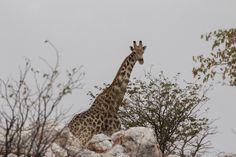 17 Days around Namibia: Day 1 – Windhoek Day 2 – Windhoek - Fish River Canyon Day 3 – Fish River Canyon para Luderitz Day 4 – Ludertiz - Kolmanskop (Ghost To. Seven Heavens, Island Records, Ghost Towns, Giraffe, Dream Catcher, Museum, Inspiration, Biblical Inspiration, Felt Giraffe