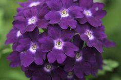 Verbena- Purple flowers are a great way to add interest to your yard or landscape. See some of our favorite purple garden flowers! Amazing Flowers, Purple Flowers, Beautiful Flowers, Exotic Flowers, Purple Plants, Purple Garden, Sun Plants, Flowering Plants, Purple Love