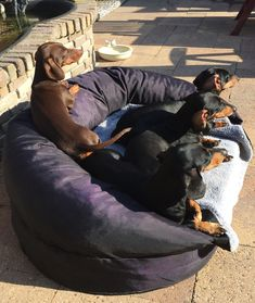 Black Palaces crew, Summertime 2018 Dachshund Puppies, Daschund, Dachshund Love, Dachshunds, Dogs And Puppies, Myla, Animal 2, Sausages, Pet Beds