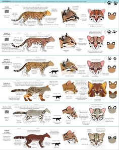 big cat color morph guide mutants are natural variations