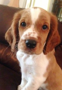 Sweet Welsh Springer Spaniel puppy