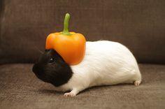 #cute #guineapig in a #pepper helmet.  #animal #funny